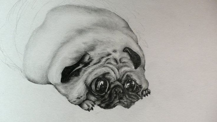 Best 25+ Fat Pug Ideas On Pinterest