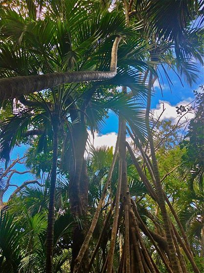 Take a trip through Lord Howe Island's endemic forests  www.lordhoweisland.info  #NSW #JustParadise
