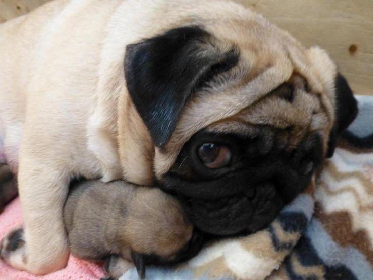 Mama Pug says: I made dis. You no touch.