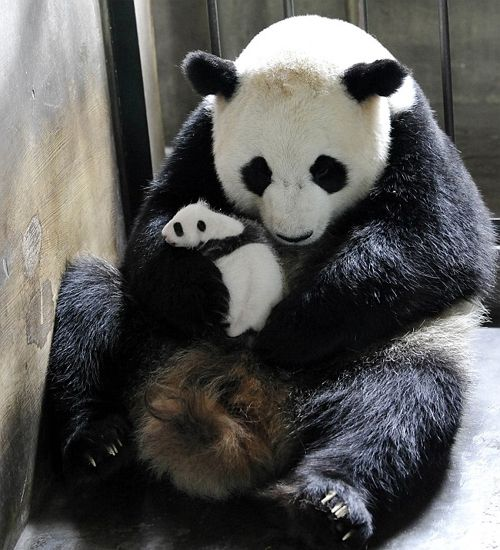 Panda mum Qi Zhen with one of her cubs in the Chengdu Panda Research Center. The Chengdu Panda reserve has been phenomenally successful at breeding pandas in captivity. The task...