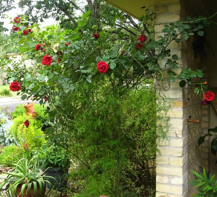 Don Juan climbing rose mixed with asparagus ferns and succulents