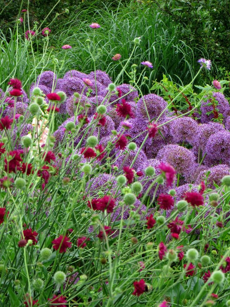 Two of my favourites for colour, shape and long bloom :knautia macedonica and alliums