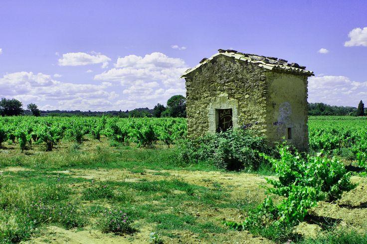 Plantacja winorośli niedaleko Chateauneuf du Pape w dolinie Rodanu.