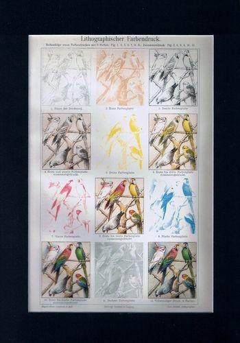 Antique Print Parrots  lithographic color pressure Germany Meyers 1905 $14.99