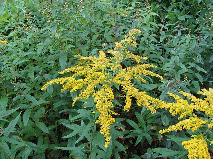 Je invazivní rostlina statného vzrůstu.