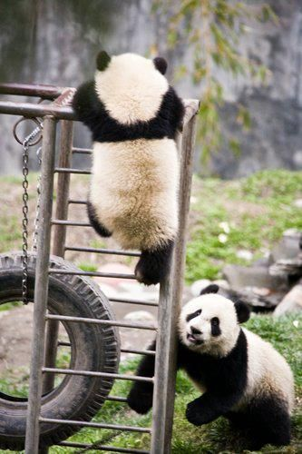 Giant Panda Cubs Playing 17 Best ideas about Pa...