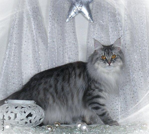 #MaineCoon #Blue #Silver #Mackerel #Cats Sparrow's Nightmare Blue Crystal Cascade