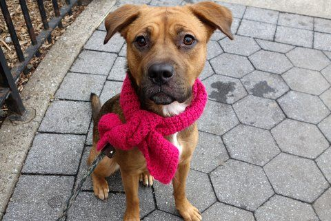 SAFE AGAIN 1/4/17❤️ PLEASE PROMISE TO KEEP THIS DIAMOND THIS TIME❤️❤️ RETURNED FOR THE 3RD TIME ON CHRISTMAS EVE!! COST! SAFE 10/13/16 SUPER URGENT Manhattan Center IVY aka CHLOE aka DIVYA – A1085780 ***RETURNED 12/24/16*** SPAYED FEMALE, BROWN / BLACK, BLACK MOUTH CUR / GERM SHEPHERD, 1 yr, 4 mos STRAY – STRAY WAIT, HOLD FOR ID Reason COST Intake condition UNSPECIFIE Intake Date 12/24/2016, From NY 10453, DueOut Date 12/27/2016