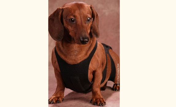 Back Brace For Ivdd Dachshunds 79 95 Usd What A Great