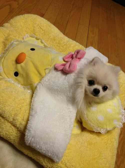 Pomeranian - what a sweet little baby                              …                                                                                                                                                                                 More