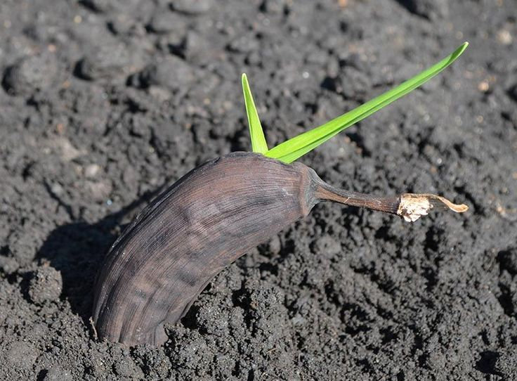How To Grow Banana Trees In Pots… | http://www.ecosnippets.com/gardening/how-to-grow-banana-trees-in-pots/