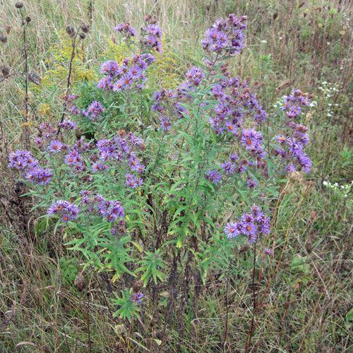Native Ontario Plants: Ontario Images On Pinterest
