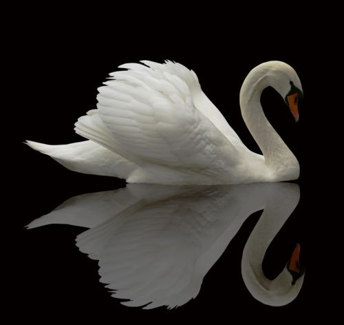 mute poem - by David Benton - A lone white Swan - the picture of elegance!