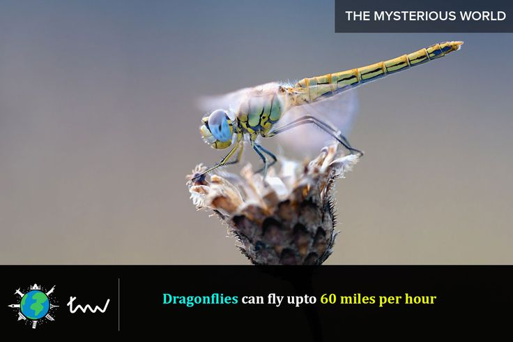 #insects #dragonfly #facts