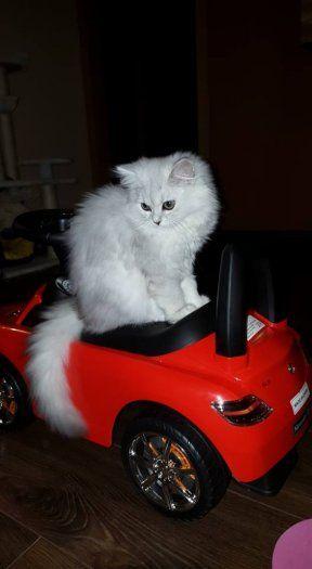 Perzské mačiatko, činčila bez PP - 1