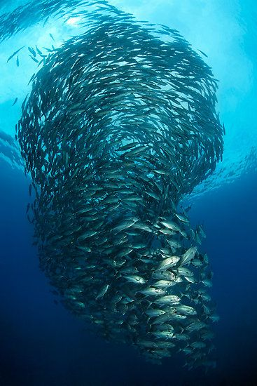 Twister, by Norbert Probst The schooling habit of some fish is fascinating.