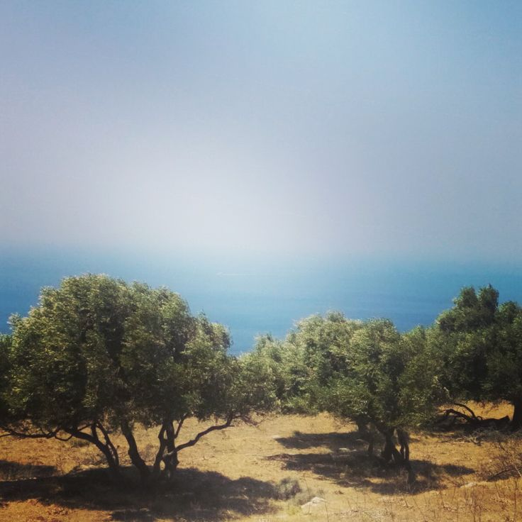 Olive trees. Greece. Cyclades