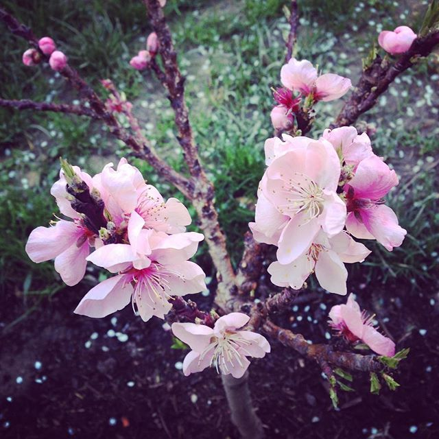 #beautiful #pink #peach #tree #blossoms #outside my #workroom I #love #spring #flowers