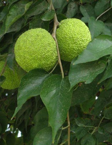 SEEDS Osage Orange Maclura Pomifera 25 Extra Seeds Fast Grower | eBay $5x9= $45