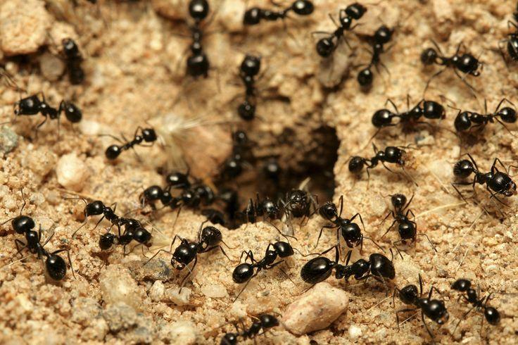 Como eliminar as formigas do jardim. As formigas podem acabar destruindo o seu bonito jardim, pois são pequenos insetos, com bastante mobilidade e agilidade, que podem chegar a destruir as suas plantas. Isso acontece por construírem túne...