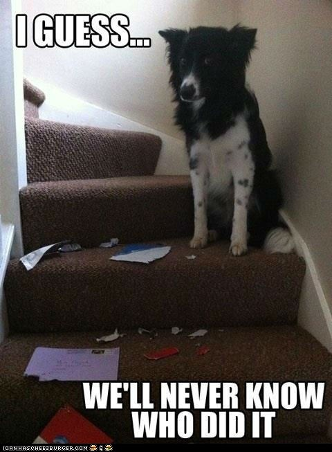It could have been anyone. Anyone but me, of course...: Border Collies, Funny Dogs, Dogs Memes, Funny Pictures, Pet, Unsolved Mystery, Funny Animal, Dogs Funny, Dogs Faces