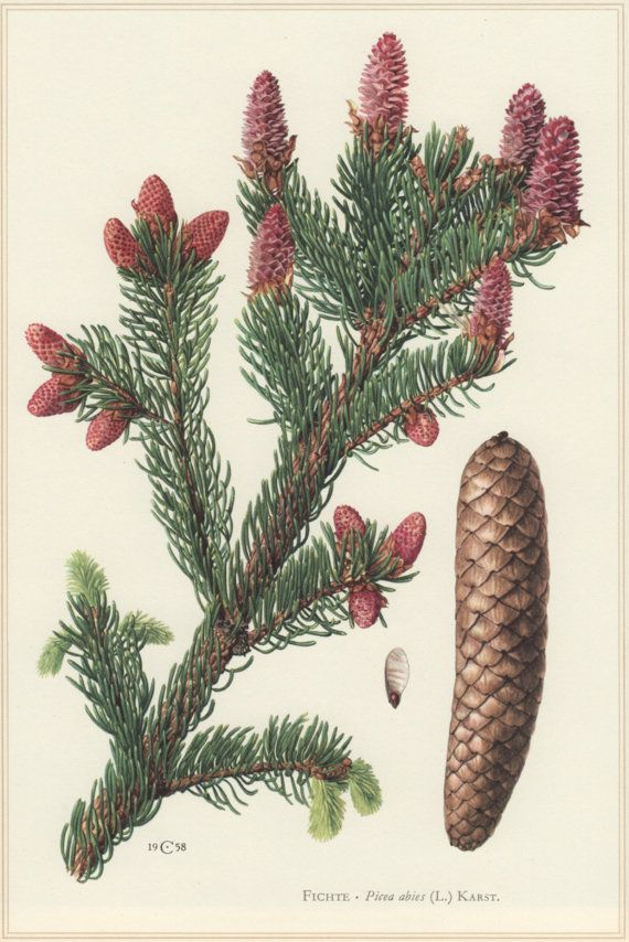 1960 Vintage Botanical Print Picea abies Norway by Craftissimo