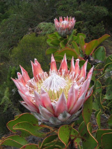 King Protea: Passion Protea, King Protea 01 Jpg, Flowershop Anthropology, Southwest Burgers, Plants, Kingprotea, Gardens, King Protea South, South Africans