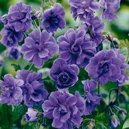 Geranium himalayense 'Birch Double'  Geranium himalayense 'Plenum', Hardy Geranium, Cranesbill  HardyPerennial