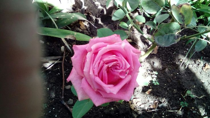 Rosa enredadera
