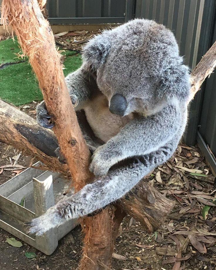 #koala #portmacquarie #koalahospitalportmacquarie by curlzqueen
