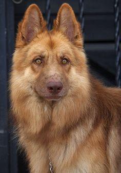 Liver colored German shepherd | dogs | | puppy | | pets | #puppy #pets https://biopop.com/