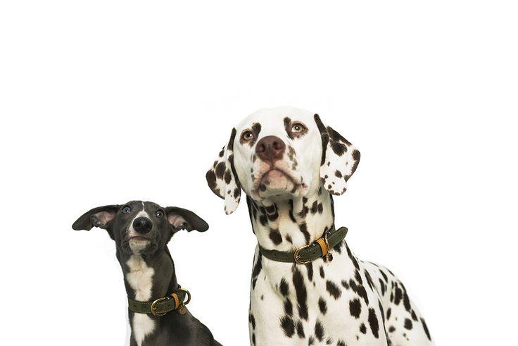Rolf & Lazarus Campaign 2017. Both whippet Jax and the dalmatian Baron wearing Kastellet Collar in Olive. http://www.rolfandlazarus.com/dog-collars/dog-collar-kastellet-olive