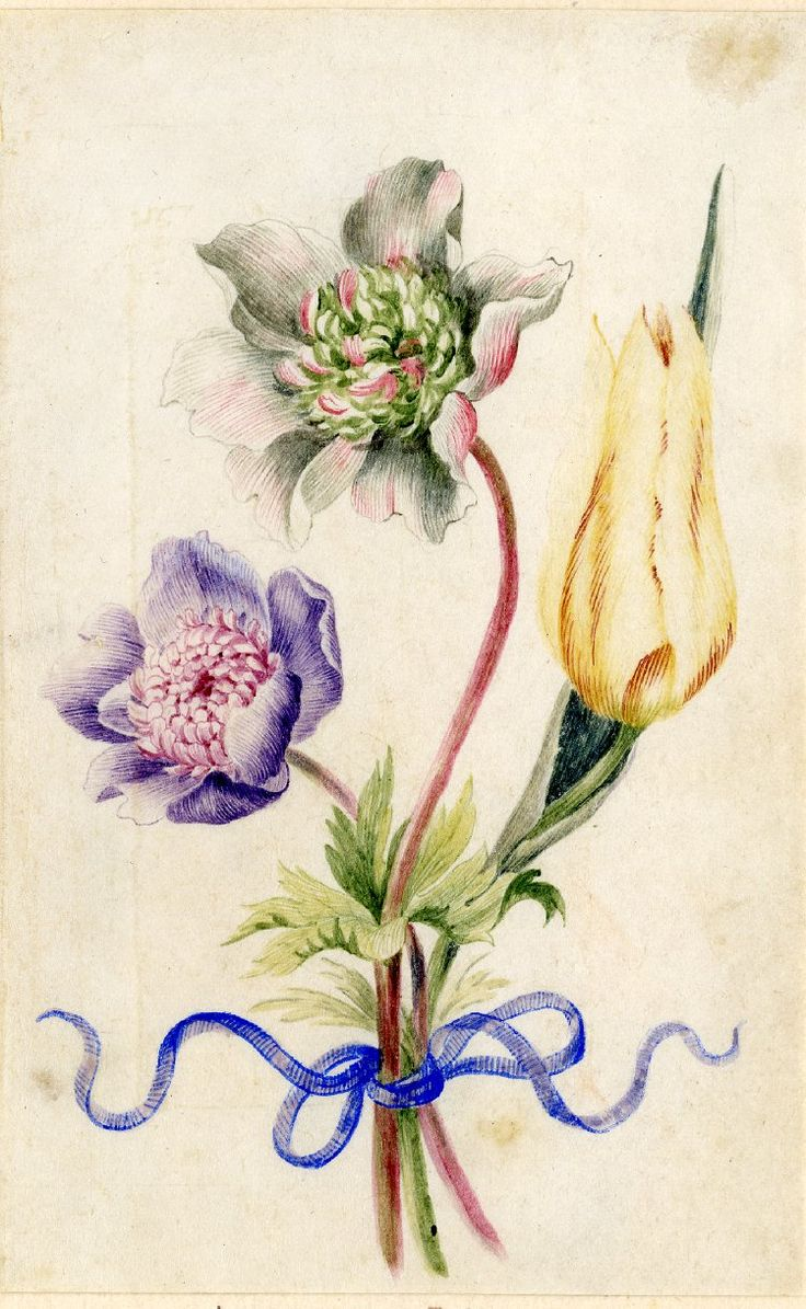 Drawing from an album, white and pink, and violet Anemones and yellow Tulip, tied with blue ribbon. Watercolour over metalpoint, on vellum. From Alexander Marshal's Florilegium.