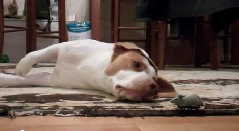 Goofy dog has most adorable reaction to toy mouse (VIDEO) » DogHeirs | Where Dogs Are Family « Keywords: toy, play, mouse, Cute