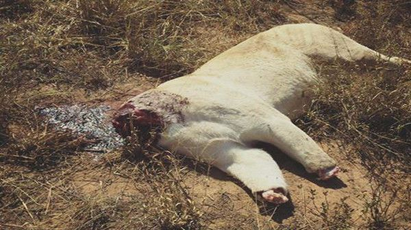 Two white lions were found poisoned and heads and claws removed on a farm near Stockpoort Limpopo. Witchcraft in Africa is a mighty force.