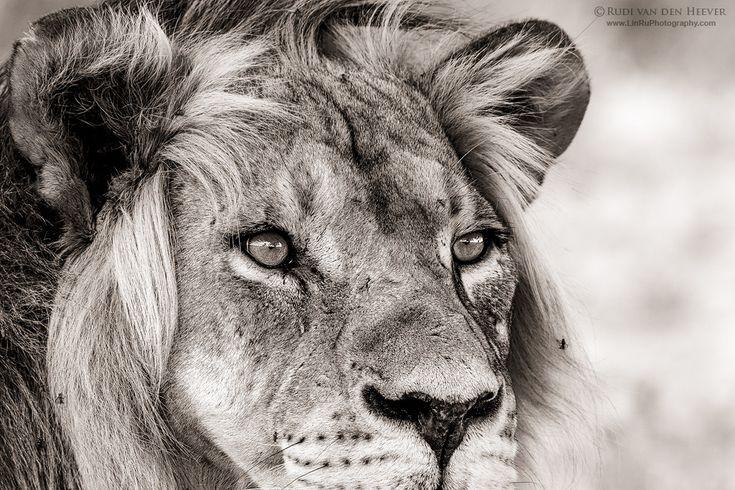 TheSnow leopard male Armin(Uncia/Panthera uncia, Levhart sněžný, Irbis, Ounce,Status: Endangered) fromZOO Jihlava, the Czech Republic DID YOU KNOW THAT....