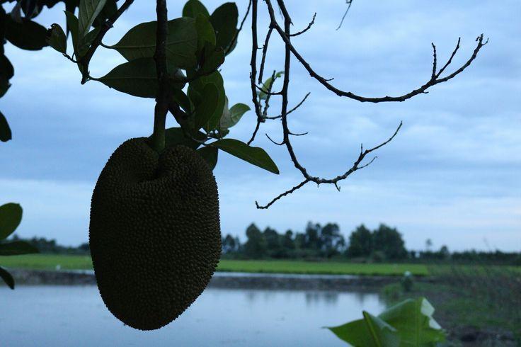 Jackfruit on the tree in the backyard.