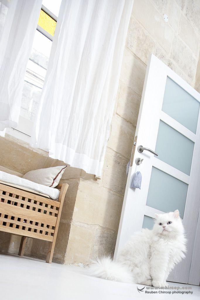 Pet Photography, white Persian cat.