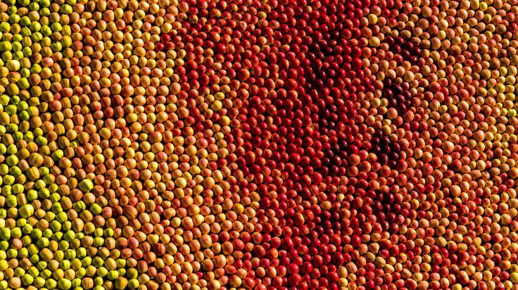 https://flic.kr/p/yRmZeC | Färg / Color | Art made of 35.000 apples at the apple market in Kivik, Sweden.  www.malinahr.com Facebook: Fotograf Malin Åhr Instagram: @malinahr_photography Twitter: @MalinAhr