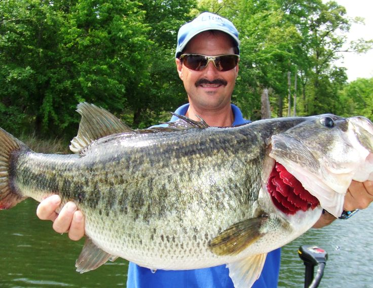bass fish - Google Search