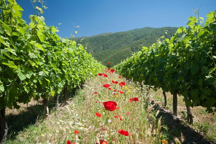 Organic Wineyards at Emiliana Organics, Chile