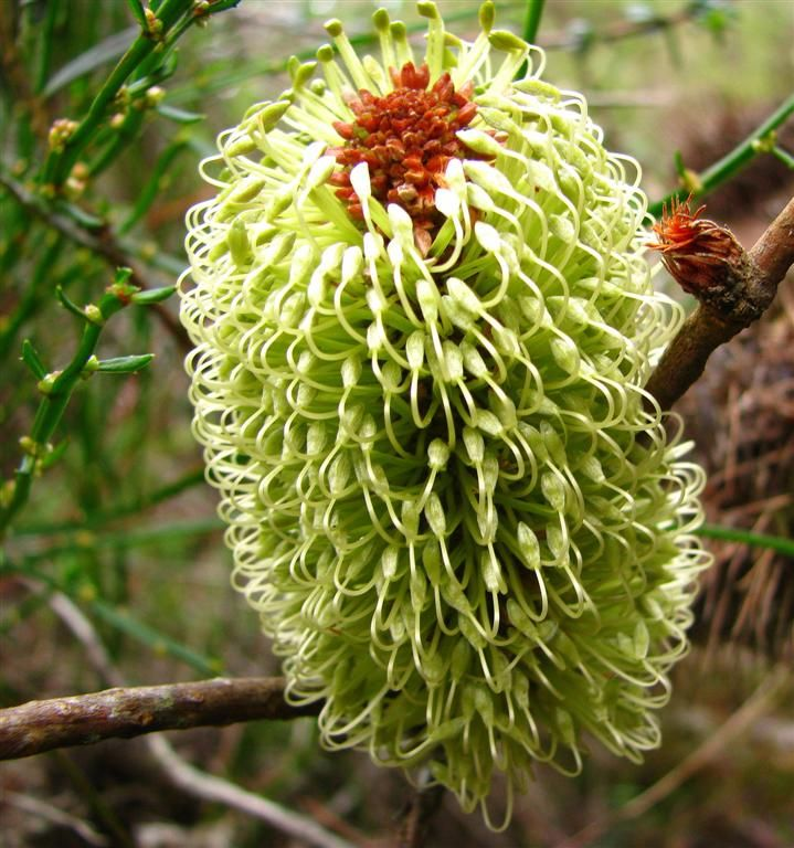 304 best images about australian native plants on pinterest