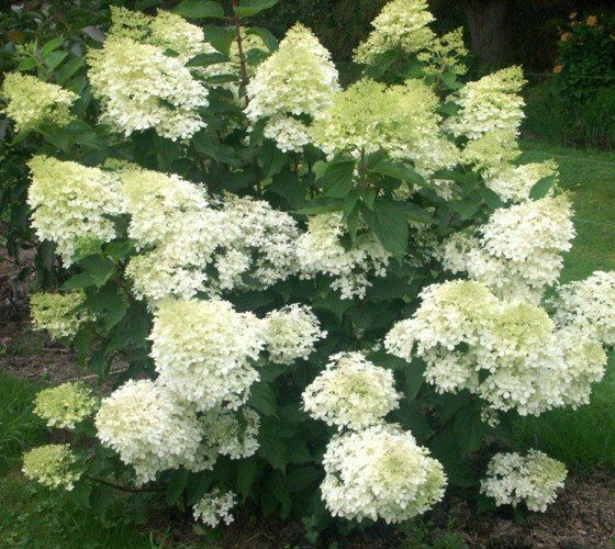 25 best ideas about hydrangea paniculata grandiflora on pinterest oakleaf hydrangea landscape. Black Bedroom Furniture Sets. Home Design Ideas