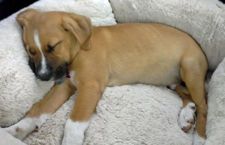 Obie the Mixed Breed puppy - cute