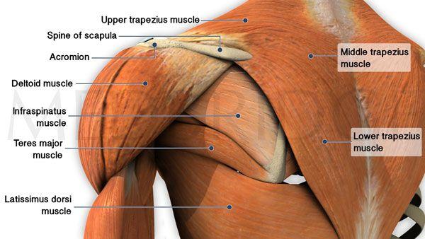 Best Exercises for Trapezius Muscles (Part 1)   MedBridge
