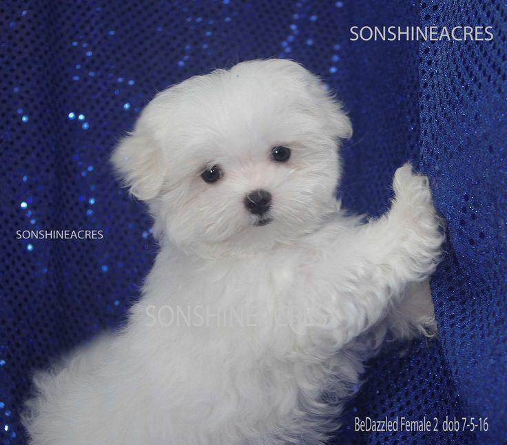 1000 Ideas About Teacup Maltese Puppies On Pinterest