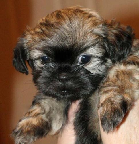 Shihpoo- this is what Teddy looked like as a puppy!