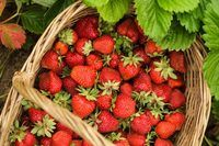 When to Plant Strawberries in Zone 5 | eHow