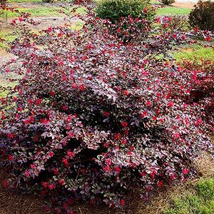 55 Best Images About Loropetalum On Pinterest Trees And Shrubs Hot Pink And Shrubs