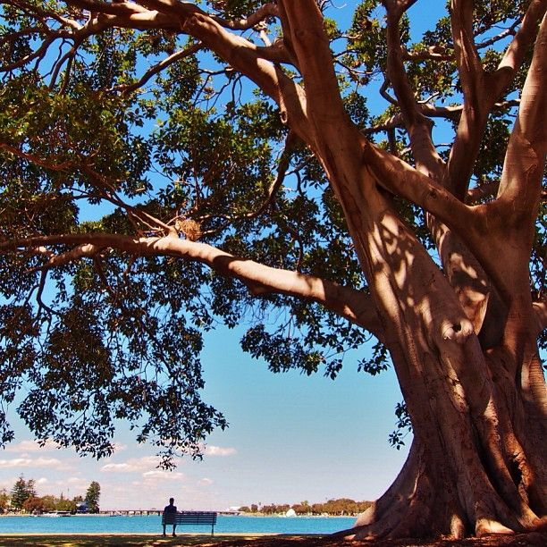 Moreton Bay Fig Stingray Point Mandurah Western #Australia  by dalboyne instagram